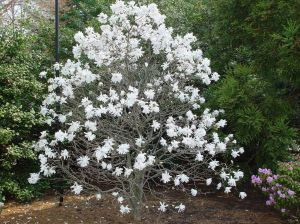Magnolia-stellata-'Royal-Star_-4