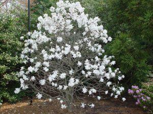 Magnolia-stellata-'Royal-Star_-4