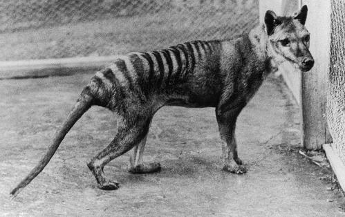 Benjamin-thylacine-MA48343112-cropped-800h